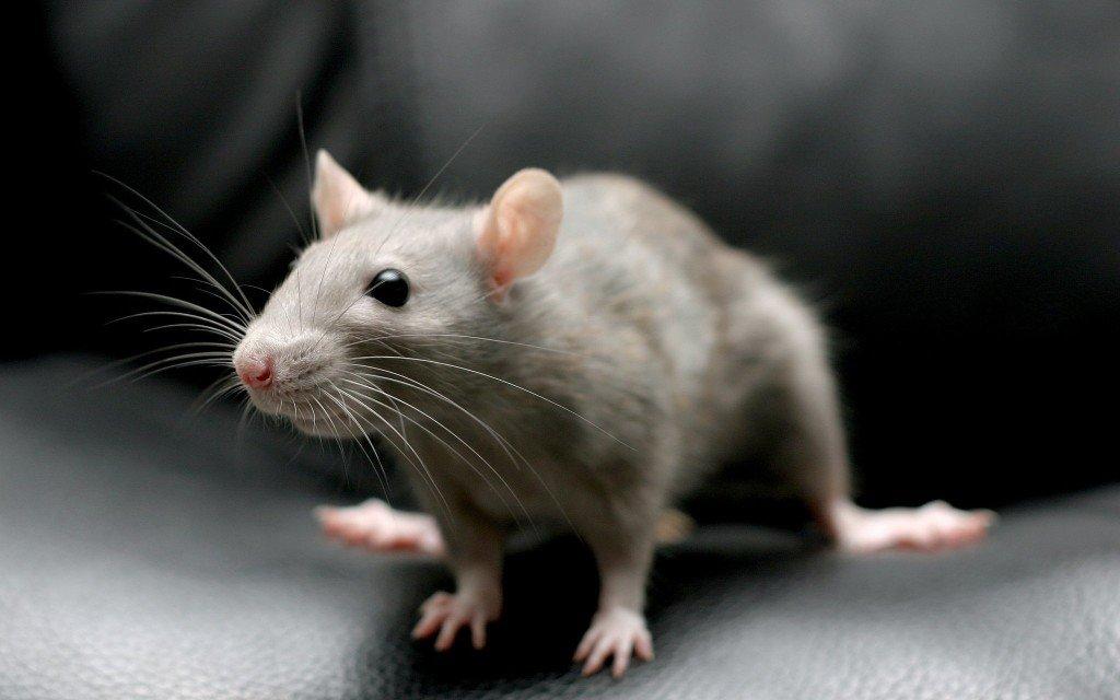 Молитва об избавлении от мышей