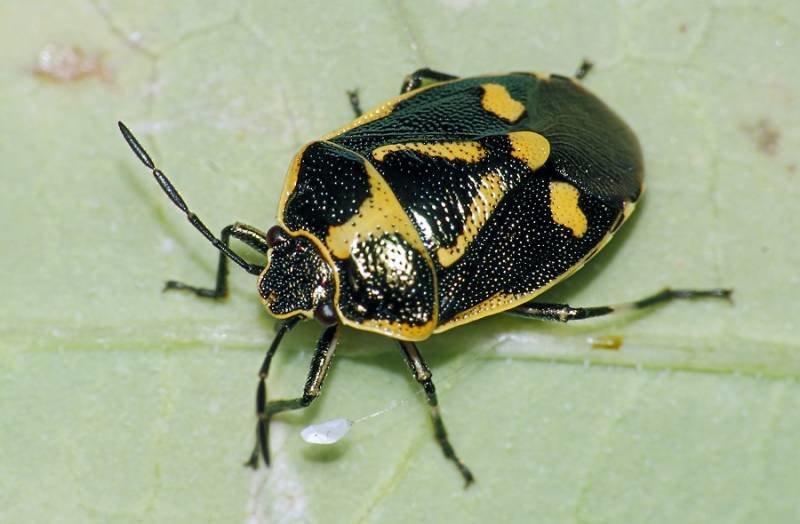 eurydema-oleracea