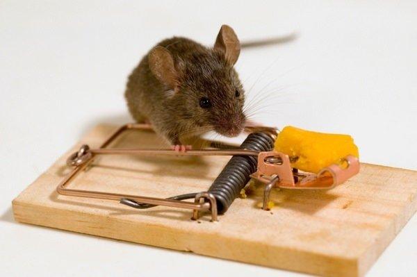 Как можно избавиться от крыс в доме