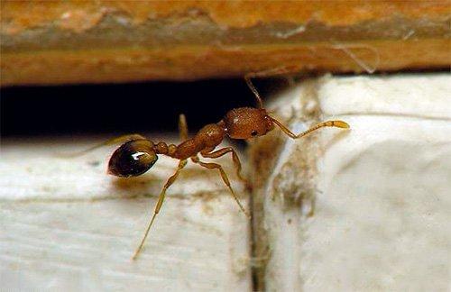 Чем муравьи опасны для человека?