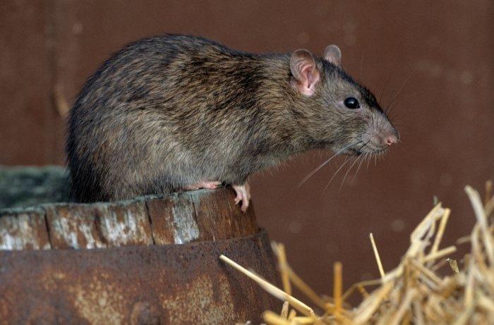 Как поймать крысу на участке