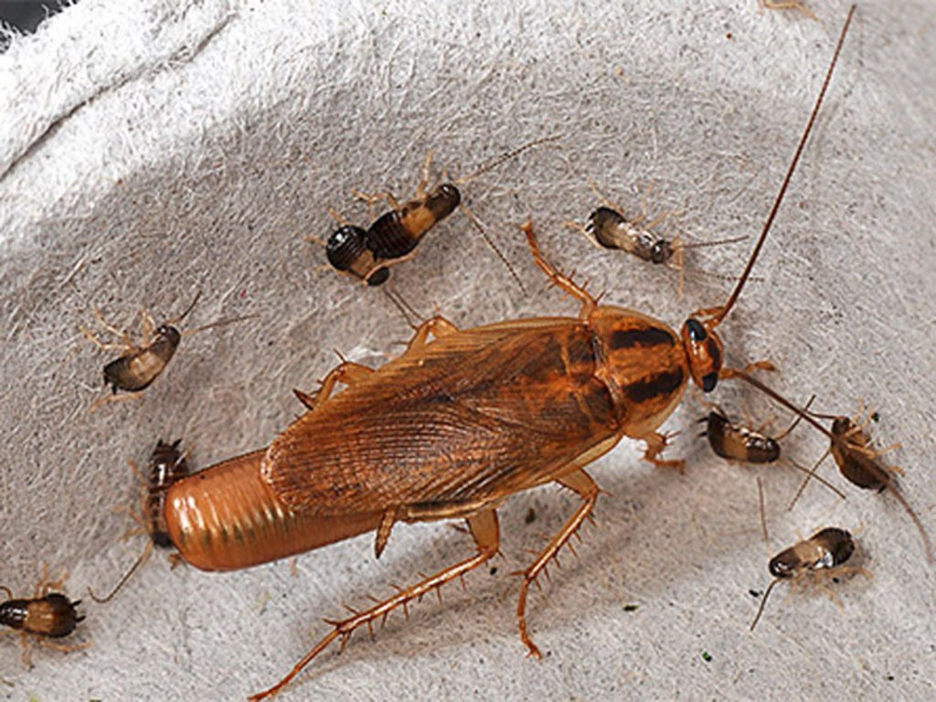 Как вывести больших рыжик тараканов прусаков