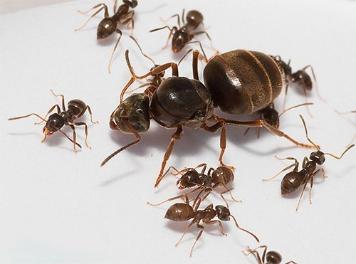 Матка домашних муравьев как выглядит