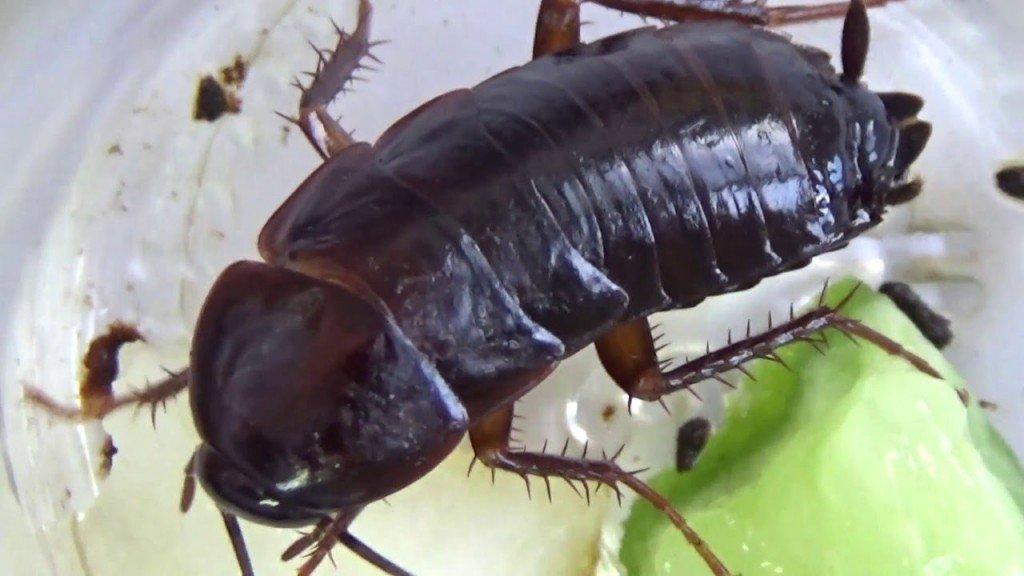 Черные тараканы в квартире как избавиться от них?