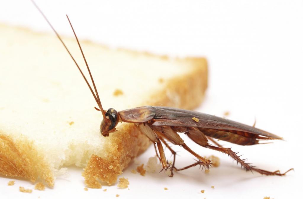 Чем вывести тараканов в домашних условиях быстро 431
