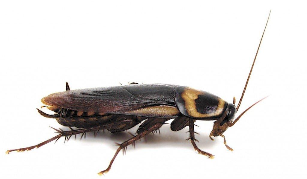 От тараканов борная кислота: рецепт