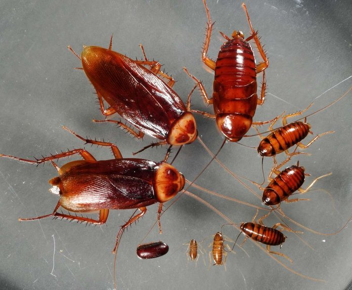 Размножение тараканов сколько по времени