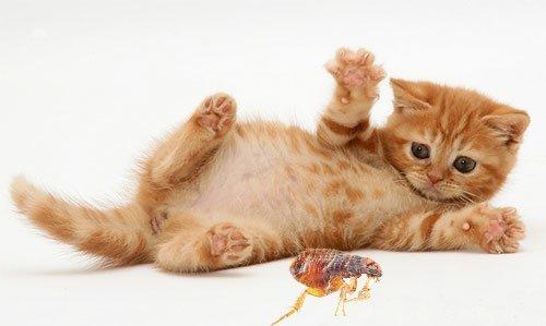 чистотел от глистов для котят отзывы